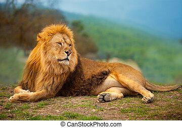 Ein Löwe, der auf dem Berg liegt.