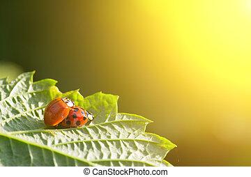 Ein Paar Käfer kopulieren Ladybugs auf einem grünen Blatt in den goldenen Strahlen der untergehenden Sonne. Das Konzept von Sex, Liebe, Beziehungen