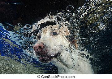Ein wunderschöner Labrador Retriever taucht unter Wasser