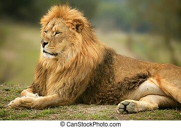 Ein wunderschönes Löwentierporträt.