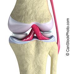 Eine gemeinsame Aussicht auf ein Knie. Isoliert