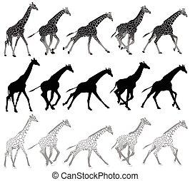 Eine Reihe laufender und wandelnder Giraffen.
