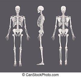 Eine Reihe realistischer Skelette, isoliert auf grauem Hintergrund. Anterior, seitliche und hintere Ansicht. Konzept der Anatomie des menschlichen Skelettsystems. Vector Illustration für Bildungs- oder Medizinbanner.