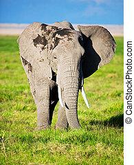Elefant auf Savana. Safari in amboseli, kenya, afrika