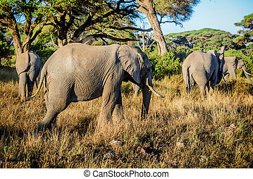Elefanten in Kenya, Afrika.