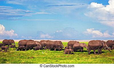Elefantenherd auf Savana. Safari in amboseli, kenya, afrika