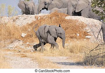 Elefantenkalb läuft.