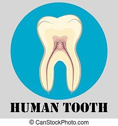 emblem, menschliche , zahn