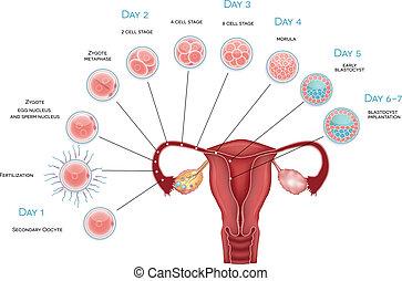 Embryo-Entwicklung. Sekundär-Oozyten-Ovulation, Düngung und Entwicklung bis zur Blastozystenimplantation.