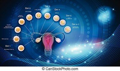 Embryo-Entwicklung von Eisprung bis Blastozyst.