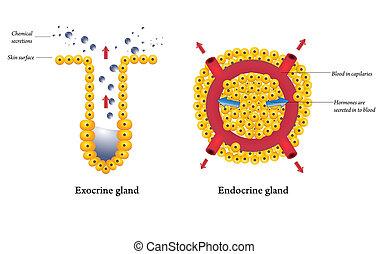 endokrin, drüsen, exocrine