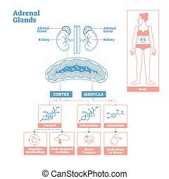 endokrin, medizin, system., vektor, diagram., drüsen, wissenschaft, abbildung, adrenal