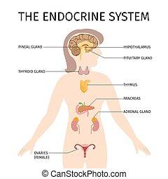 endokrin, vektor, system, weibliche , bunte, schematisch, abbildung