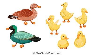 entchen, abbildung, eltern, satz, enterich, ente, klein, duck., karikatur, vektor, family.