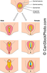 entwicklung, genital