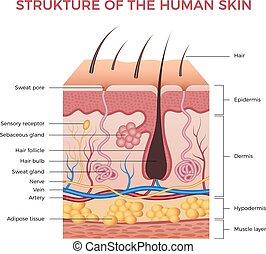 epidermis, dermis, fetthaltig, neu, normal, biologisch, infographic, menschliche , anatomy., schichten, haut, vektor