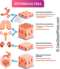 Epitheliale Zellen vektorgrafik. Medizinischer Ort und Bedeutungsdiagramm.