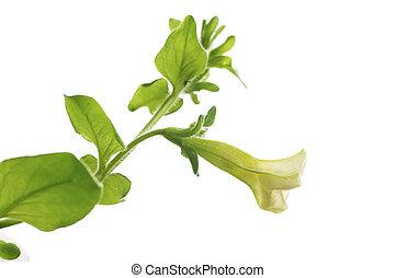 Erste Blüte der Petunia-Haldula, isoliert über weißem Hintergrund, Designelement für die Grenze einer Seite