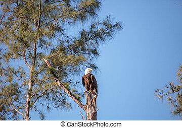 Erwachsene Glatze Adler Haliaeetus leucocephalus steht Wache.