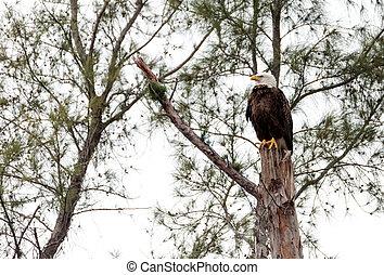 Erwachsene Glatze Adler Haliaeetus leucocephalus.