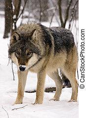 Europäischer grauer Wolf