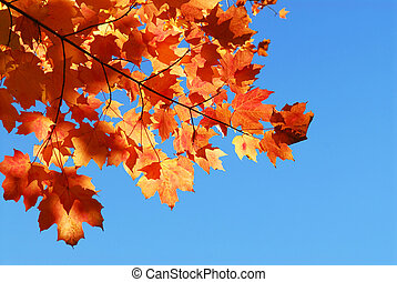 Fall Ahornblätter