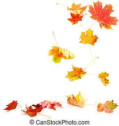 Fallende Ahornblätter
