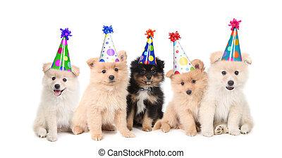 feiern, geburstag, fünf, pomeranian, hundebabys