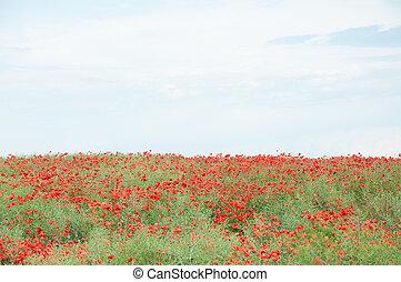 Feld roter Mohn und wolkiger Himmel