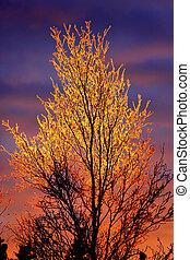 Feuereisbaum