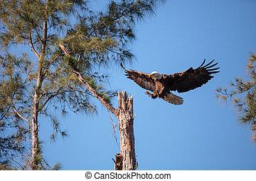 Fliegender Erwachsener Glatze Adler Haliaeetus leucocephalus.