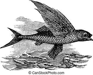 Fliegender Fisch oder Exocoetidae, klassische Gravur