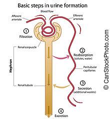 Formation von Urin