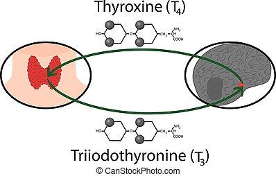 formeln, strukturell, hormone, schema, schilddrüse, chemische , function.