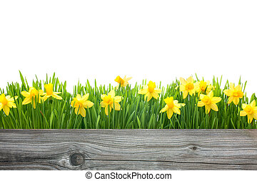 Frühlingliche Narzissenblumen.