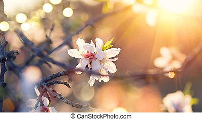 Frühlingsblüten Hintergrund. Schöne Naturszene mit blühendem Mandelbaum