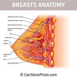 frau, abschnitt, kreuz, auf, brüste, anatomy., schließen, ansicht
