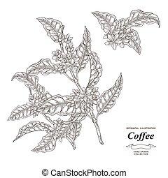 freigestellt, illustration., vektor, flowers., gezeichnet, bohnenkaffee, zweig, baum, stich, style., hintergrund., weißes, hand