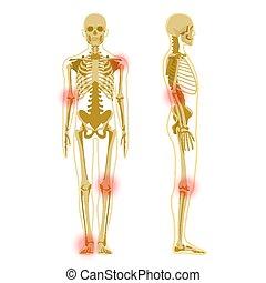 freigestellt, profil, front, white., menschliches skelett, x-ray., koerperbau