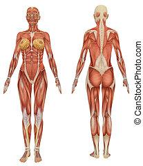 Front und Rückseite der weiblichen Muskelanatomie sehr lehrreich