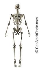 frontal, voll, skelett