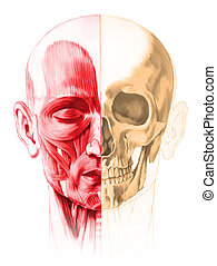 Frontale Sicht auf männlichen Kopf, mit halber Muskeln und halber Schädel. Im weißen Hintergrund. Anatomiebild, handgemalter Stil. Einschließlich der Schleifbahn.