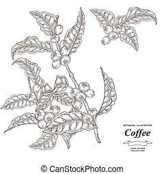 fruits., freigestellt, illustration., vektor, gezeichnet, bohnenkaffee, zweig, baum, stich, style., hintergrund., weißes, hand