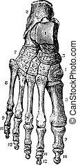 fuß, weinlese, (dorsal), skelett, engraving.