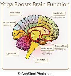 funktion, gehirn, joga, boosts