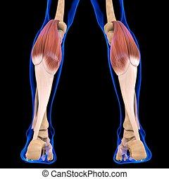 gastrocnemius, 3d, muskel, abbildung medizinisch, begriff, koerperbau
