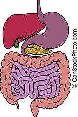 gebiet, diagramm, menschliche , darm, gastrointestinal, koerperbau