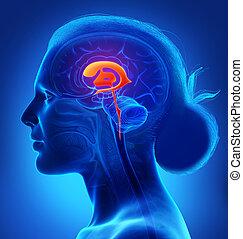 gehirn, abbildung, koerperbau, übertragung, 3d, medizin, ventrikel, weibliche