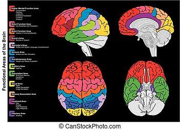gehirn, diagramm, infographic, menschliche , funktional