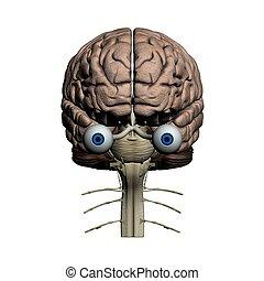 gehirn, frontal, menschliche , ansicht